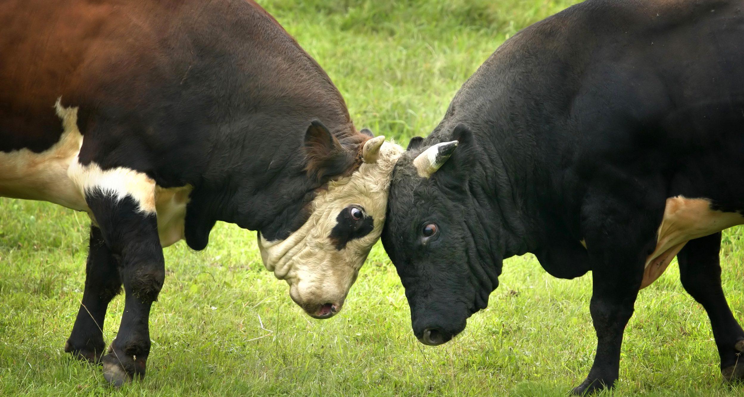 two bulls fighting